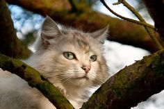 https://flic.kr/p/6bAmkX | Cat in a tree