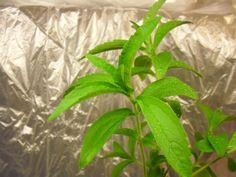 Pěstování stévie Pěstování ve skleníku, přímo venku nebo v květináči je pro nás asi nejpřístupnější metodou. Stévii se nejvíce daří ve skleníku. Stévie nesmí bý vystavována nízkým teplotám. I přesto, že jsou dnešní stévie šlechtěné a jejich odolnost vyšší. Dostatečně velkou a připravenou stévii ke sklizni, odstřihně nebo odřízněte 10 - 12 cm nad zemí. Rostlina začně automaticky znovu růst a rozvětvovat se. Stévie se musí sklízet ve chvíli, kdy vykvete 5% z celkového počtu rostlin. Stevia, Plant Leaves, Gardening, Health, Plants, Health Care, Lawn And Garden, Plant, Planets