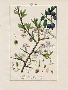 "Antique prints of ""Prunus spinosa"" from Eduard Winkler Medicinal Prints 1832"