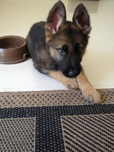 Hero the German shepherd puppy. #gsd #puppy