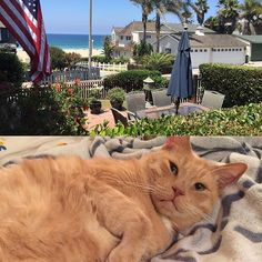 "eviee619: ""Sunny Monday-I'm still getting my 16 hours of zzz's  #sleepycat #fatcat #furbaby #purr #meow #catsofinstagram #cutecat #catoftheday #cute #orangecat #petstagram #pet #pets #petoftheday #monday #love #manhattanbeach #cat #cats #cats_of_instagram #catlover #crazycatlady #ilovemycat #instacat #instakitty #kitty #kitties #instagramcats #kittyoftheday #tabby"""