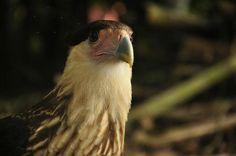 Condores de los Andes en el Páramo de Santurban Santander Colombia