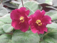 African Violet live plantNESS' RED VELVET by Shantiyarnandknits, $3.00