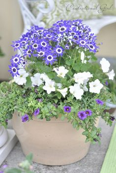 Container Gardening - Thriller, Filler, Spiller. Thriller is tall (bicolor blue Senetti), filler provides fullness (white petunia for contrast), and the spiller creeps over the edges to soften the look (blue Calibrachoa)