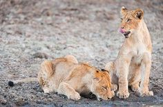 Lion Cubs. Quote & Book:http://www.south-african-hotels.com/