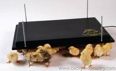 Raising Chicks - using brooders
