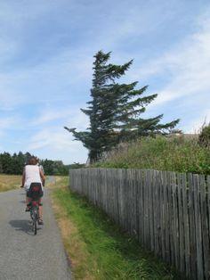 wind-weathered trees on Veno, Denmark
