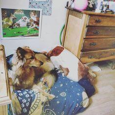 Reposting @paintinoils: She loves her bed :) #dogs #petstagram #GSD #GermanShepherd #GermanShepherdDog #instadog #ILoveMyDog #ilovemygsd #dog #dogscorner #dogsofinstagram #petsagram #hannah #misshannah #mrdarcy #darcy