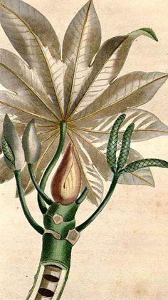 """Olímpia Reis Resque: Uma floresta de Cecrópias """"...Já falei muitas vezes dessas árvores singulares, cujo tronco oco, em cada cicatriz de folha forma uma parede divisória, servindo de morada às formigas e sobretudo à preguiça..."""". Texto de Robert Avé-Lallemant  (1812-1884) com ilustração de J. Th. Descourtilz. No Blog olimpiareisresque.blogspot.com. Visite!"""