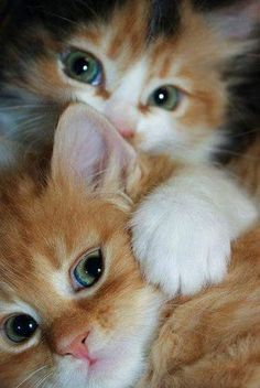 Love Cute Animals shares pics of playful animals, cute baby animals, dogs that stay cute, cute cats and kittens and funny animal images. Kittens And Puppies, Cute Cats And Kittens, Kittens Cutest, Ragdoll Kittens, Tabby Cats, Bengal Cats, Samoyed Puppies, Siamese Cats, Pretty Cats