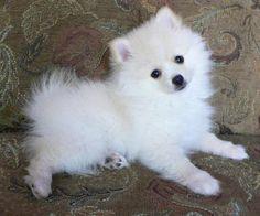 #pom #puppy