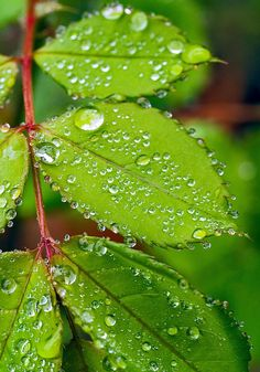 ~ Shades of Green and dewdrops on leaves Dew Drops, Rain Drops, Photographie Macro Nature, Green Leaves, Plant Leaves, Rose Leaves, Water Droplets, Bokeh, Shades Of Green