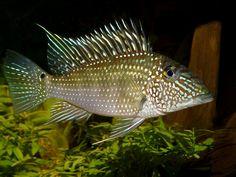 Fish Guyana Eartheater Cichlid Aquarium, Fish Aquariums, Tropical Fish Aquarium, Planted Aquarium, South American Cichlids, Freshwater Fish, Atlantis, Animals And Pets, Fresh Water