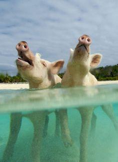 Pig Island, Bahamas. These pigs are so happy! Http://wetravelandblog ...