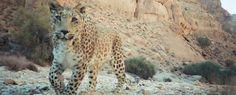 El leopardo, como uno de los mamíferos más grandes de la región, tal vez uno de los más bellos pero, sin duda, tambien uno de los más amenaz...