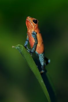 """Froglegs in """"blue-jeans"""" by Supervliegzus on Flick Reptiles And Amphibians, Mammals, Strawberry Poison Dart Frog, Amazing Frog, Poison Dart Frogs, Funny Frogs, Frog And Toad, Beautiful Creatures, Pet Birds"""