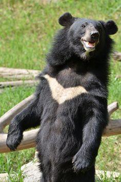 Officials Raid Drug Den … And Make The Saddest Discovery - Kindergesundheit Spirit Bear, Spirit Animal, Animals And Pets, Funny Animals, Cute Animals, Malayan Sun Bear, Asian Black Bear, Spectacled Bear, American Black Bear