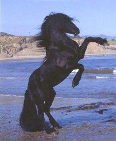 Rearing Friesian. The first thing you think of when you see this photo is Black Beauty.