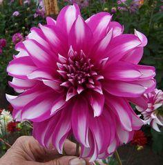 Dahlia 'Radegast'. I want this in my garden!