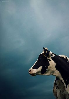 A cow like I grew up with, as well as that beautiful stormy sky that looks amazing over a ripe wheat field.
