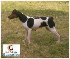 CANIL PEDRA DE GUARATIBA - Terrier Brasileiro (Fox Paulistinha) FELIZ DIAS DOS PAIS PARA TODOS OS PAPAIS! Investimento em Genética! Investimento em Estrutura! 24 Anos de Dedicação! Fêmea tricolor preto. Filhotes disponíveis: http://www.canilpguaratiba.com/html/filhotes_tb.html #CanilPedradeGuaratibaTerrierBrasileiro #CanilPedradeGuaratibaFoxPaulistinha