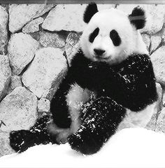 GIF With a panda it's so difficult to know if it's their adorable clumsiness or the clowning around they're also known for. Either way - very cute!