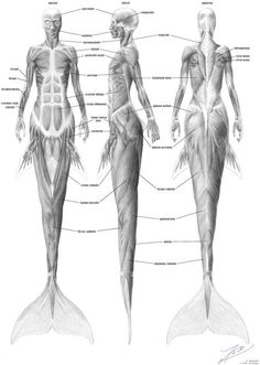 A hypothetical musculature system for a dolphin-tailed mermaid. Full-size image is 1906x2676.