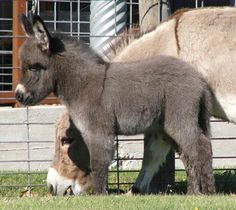 Miniature donkeys...