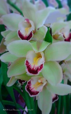 Luscious Orchids