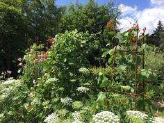 Runner Beans, Herbaceous Border, Obelisks, Rose, Pink, Roses