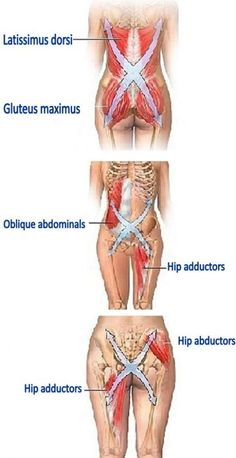 Muscle connections of the lower body: Latissimus Dorsi, Gluteus Maximus, Oblique Abdominals, Hip Adductors