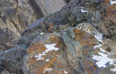Spot the predator: Would YOU know if a snow leopard was stalking you? Snow Pictures, Hidden Pictures, Leopard Spots, Snow Leopard, Montevideo, Alpine Plants, Leopards, I Love Cats, Big Cats
