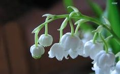 Image result for lily of the valley flower wallpaper