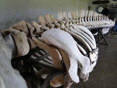 Sperm whale skeleton, washed up in Cloudin Farm, Vailta Animal Bones, Skeleton, Islands, Whale, Lion Sculpture, Statue, Whales, Skeletons, Sculptures