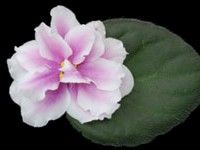 African violet - Music Box Dancer -   Enormous, semidouble and double stars are dressed in rose pink, fading out to wide halos of white. A spectacular, standard size grower, this variety is skirted in medium green, quilted foliage.  AVSA Reg. #9937  (LLG)  https://www.facebook.com/llgreenhouses