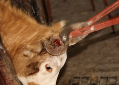 Many people are surprised to learn that nearly all cows used for milk are born with tissue that will develop into horns. That's because most farmers remove the sensitive horn tissue or the horns themselves from the cows' skulls using searing-hot irons, caustic chemicals, blades, or hand saws.