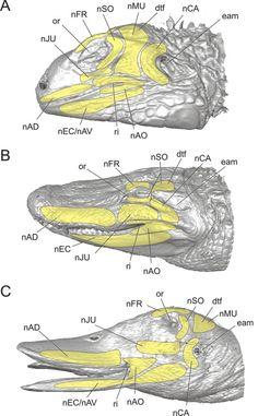 alligator facial muscles