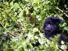 "Ruhengeri, Rwanda. ""A female mountain gorilla in Volcans National Park near Ruhengeri, Rwanda."" - Laura Ratliff, Associate Web Producer"