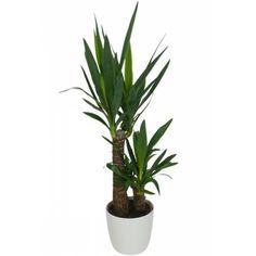 Plante d'intérieur - Yucca 2 Troncs + Pot Blanc