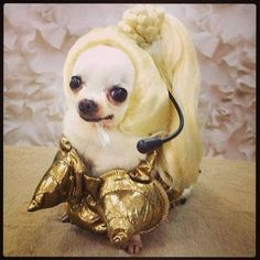 Madonna is perfect for a Chihuahua! Right? #Halloween #dogs #madonna