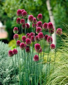 Allium Sphaerocephalon (Drumsticks) Crowded heads of purple-crimson drumsticks, fine for cutting. The flowers open green, then start to turn purple from the top, creating unusual two -tone flower heads. Great when planted with perennials in the border. Allium Flowers, Bulb Flowers, Planting Flowers, Fall Planting, Flowers In Garden, Daffodils, Tulips, Allium Sphaerocephalon, Summer Flowers