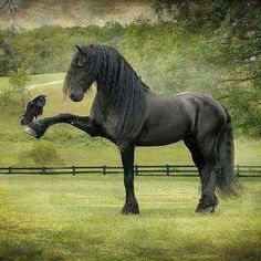 Friesians are graceful and nimble for their length. It is estimated that during the middle ages, ancestors of Friesian horses Pretty Horses, Horse Love, Beautiful Horses, Animals Beautiful, Simply Beautiful, Nature Animals, Animals And Pets, Funny Animals, Cute Animals