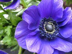 Free photo Purple Buttercup Anemone Flower - Max Pixel