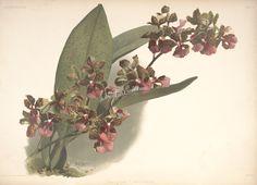 oncidium lanceanum      ...