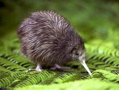 A kiwi bird! Kiwi with a beak! Does it taste like kiwi. Pretty Birds, Beautiful Birds, Animals Beautiful, Animals And Pets, Baby Animals, Cute Animals, Odd Animals, Bizarre Animals, Penguin Animals