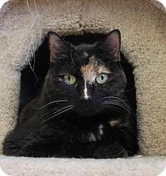 Westampton, NJ - Domestic Shorthair. Meet Baby Girl 31281379, a cat for adoption. http://www.adoptapet.com/pet/16110279-westampton-new-jersey-cat