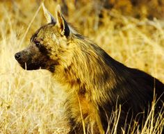 The brown hyaena is found in the southern part of Africa, specifically in Zimbabwe, South Africa, Mozambique, Botswana, and Angola. They are the climax predators in the Namib Coast Desert.