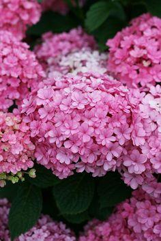 "Each floret of Paraplu® bigleaf hydrangea is made up of dozens of petals. ""Paraplu"" means ""umbrella"" in Dutch."