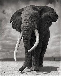 Portrait of Elephant on Bare Earth, Amboseli by Nick Brandt