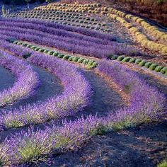 Lavender garden - Ojai Valley, CA; Lavender is also an excellent plant to grow in fire breaks to protect your property